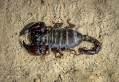 A Scorpion found at Cape Le Grand Beach Campsite after dark