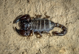A Scorpion found at Cape Le Grand Beach Campsite after dark