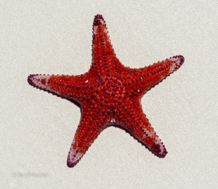 Starfish found driving along Cape Le Grand Beach