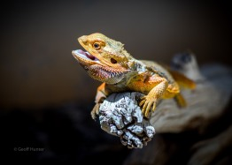 A defiant Bearded Dragon Alice Springs Northern Territory
