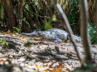 A wild freshwater Croc sunning himself and the Fitzroy River Northern Territory