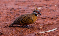 A spinefex pigeon at our campsite in Karijini National Park
