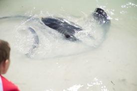 Self beaching Eagle ray at Hamelin Bay near Augusta Western Australia