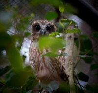 Boobook owl Watching and those EYES!