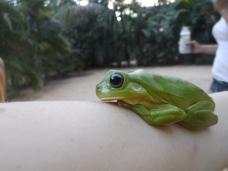 Green Tree Frog on Aidan's Arm