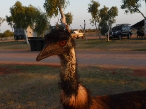 An Emu in our face at Exmouth, Western Australia.