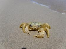 Crab at Coral Bay, Western Australia