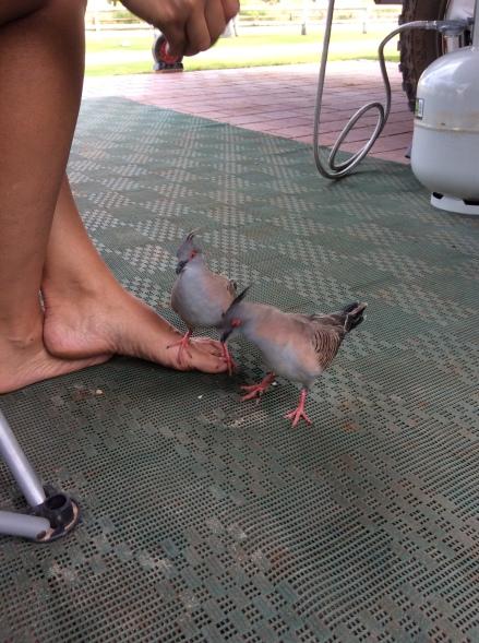 Doves taking a liking to Celia in Kalbarri