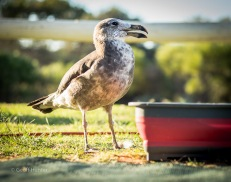 A Disabled Pacific Gull in Kalbarri, Western Australia