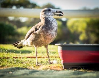 A Disabled Pacific Gull in Kalbarri, Western Australia