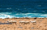 Ocean going sheep