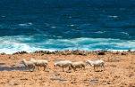 Ocean going sheep