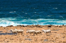 Sheep on the shore - Quobba Station Carnarvon Western Australia