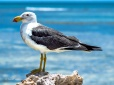 Pacific Gull Abrolhos Islands v2