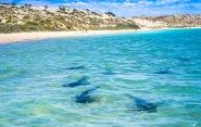 Black Tip Reef Sharks at Coral Bay, Western Australia