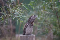 Tawny Frogmouth on fence post pretending he part of the furniture - Margaret River Western Australia