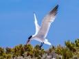 Caspian Tern Abrolhos Islands