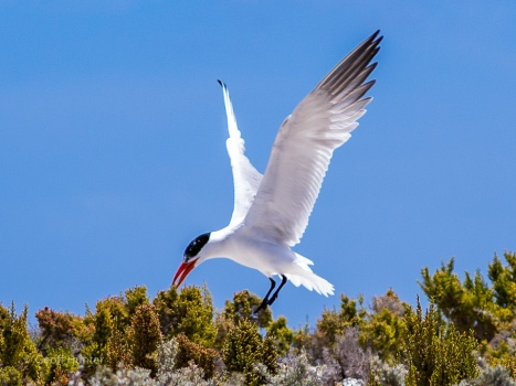 A tern coming into land - Abrolhos Islands, Western Australia