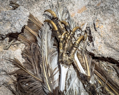 deceased sea eagles legs on the Abrohlos Islands