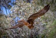 Kite in Margaret River