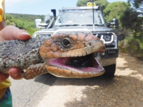 A road-crossing shingleback near Dunsborough Western Australia