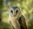 Ivy the barn owl