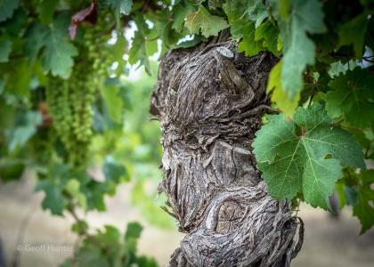 Old Margaret River Vines