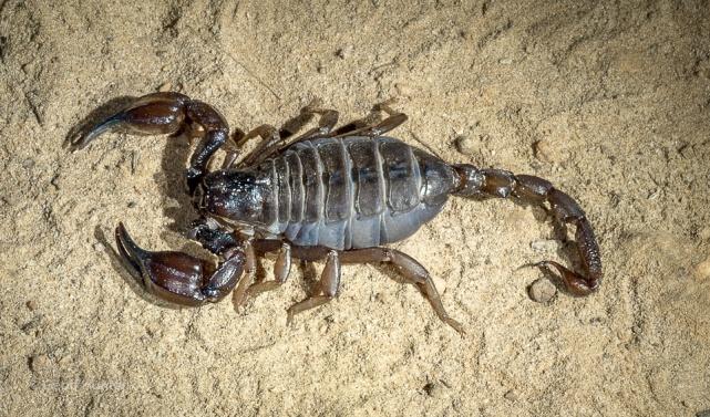 Scorpion at Cape Le Grand