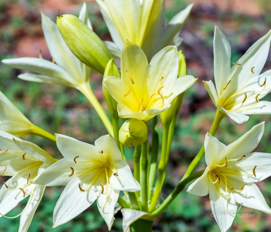 Andamooka Lily 2