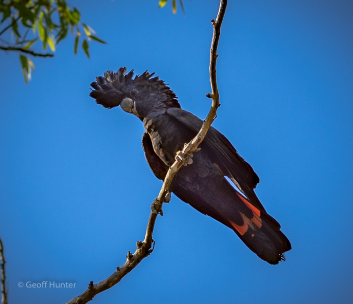 Balck Cockatoo Litchfield.jpg