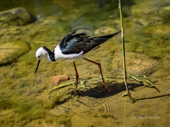 black banded Stilt