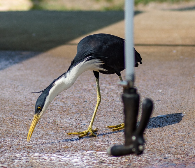 Pied Heron at fish cleaning station