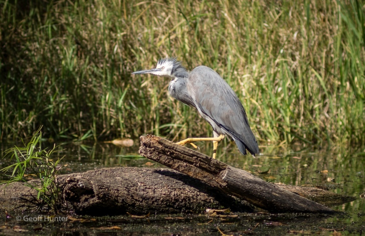 A great Heron on the Carnarvon Creek