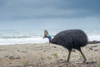 Cassowary on Etty Bay Beach