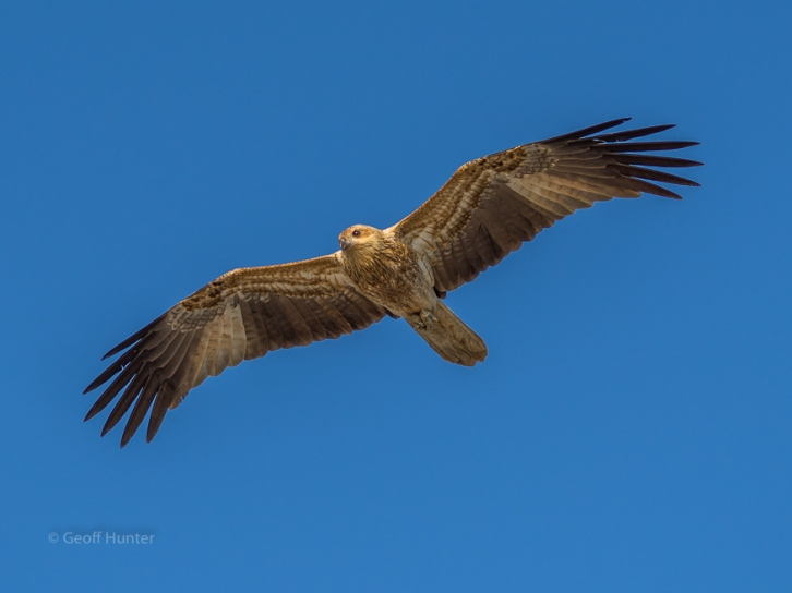 Whistling Kite - Karumba