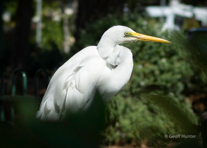 intermediate Egret_