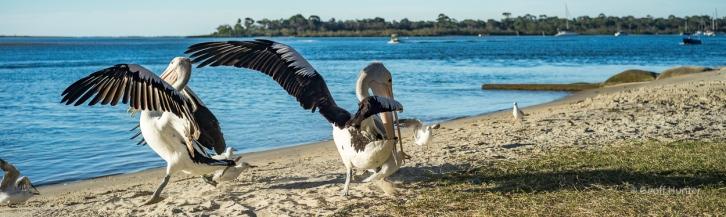 Squabbling Pelicans.jpg