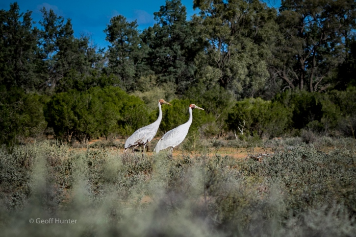 Brolga togetherness-2