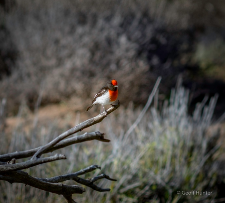 Red-capped Robin 1.jpg
