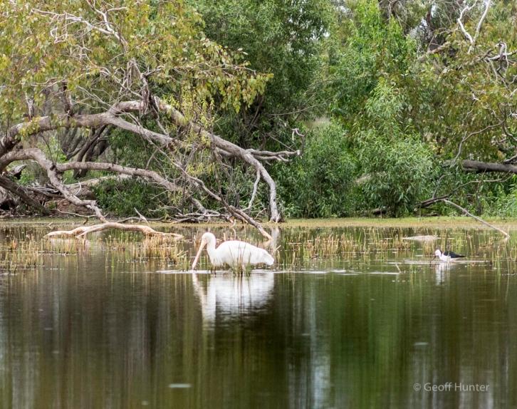 spoonbill and stilt on lagoon.jpg